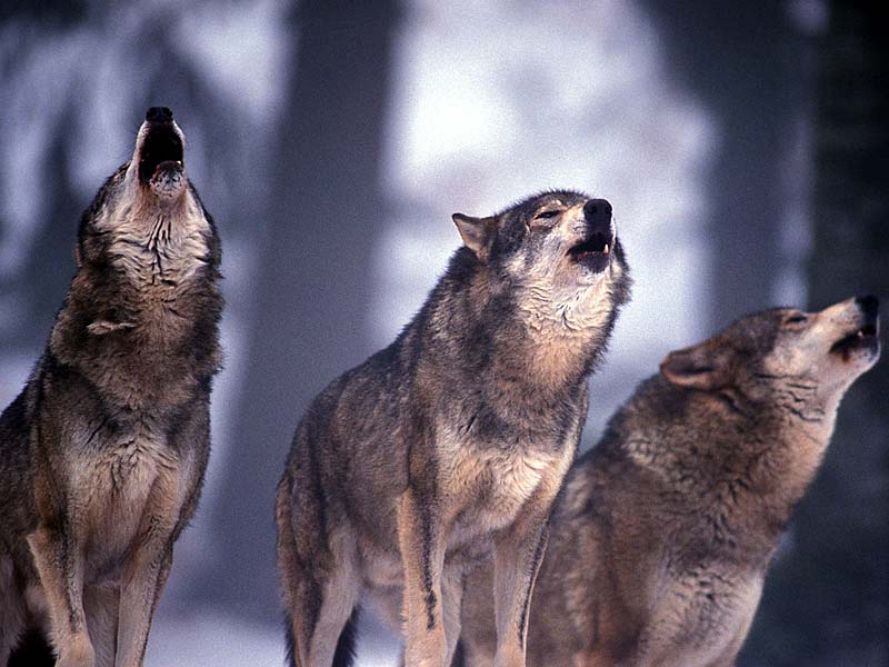 Lupi non siamo nei boschi delle alpi ma nella murgia tarantina