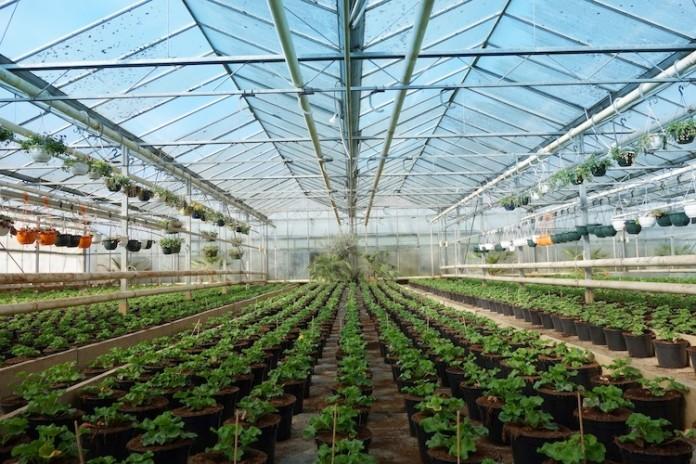 Trasforma cantina in serra per coltivare marijuana for Irrigazione serra