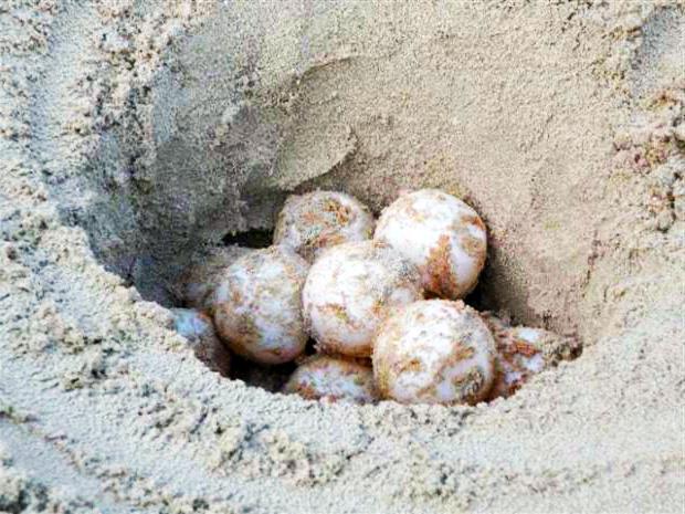 tartarughe sulle spiagge di taranto deposte le uova a