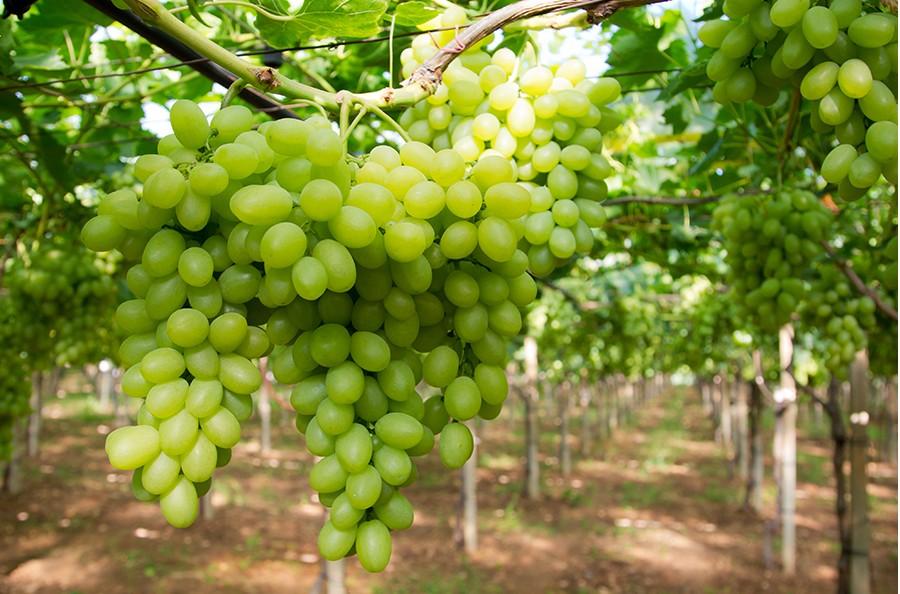 Tendone taranto l uva da tavola ancora regina d - Uva da tavola coltivazione ...
