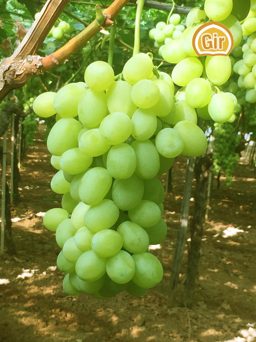 Apierene e palieri si commercializza la prima uva da - Uva da tavola puglia ...