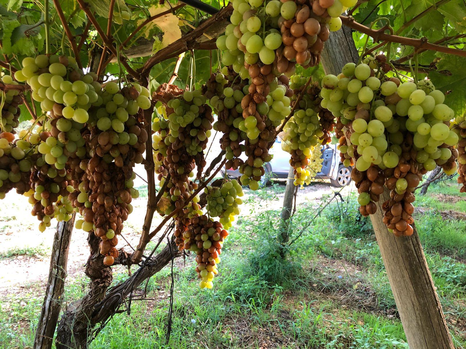 Puglia agosto nero per l 39 agricoltura campagna vitivinicola a rischio gir grottaglie in rete - Uva da tavola puglia ...