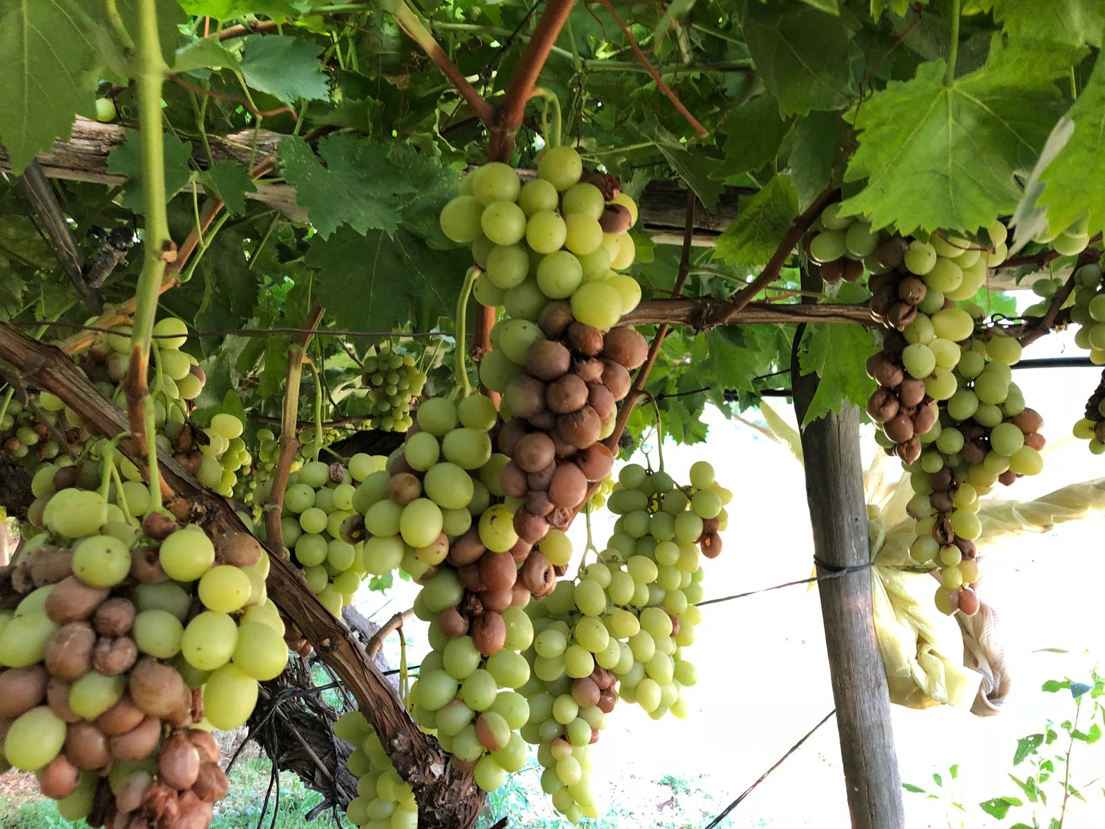 Puglia agosto nero per l 39 agricoltura campagna - Uva da tavola puglia ...