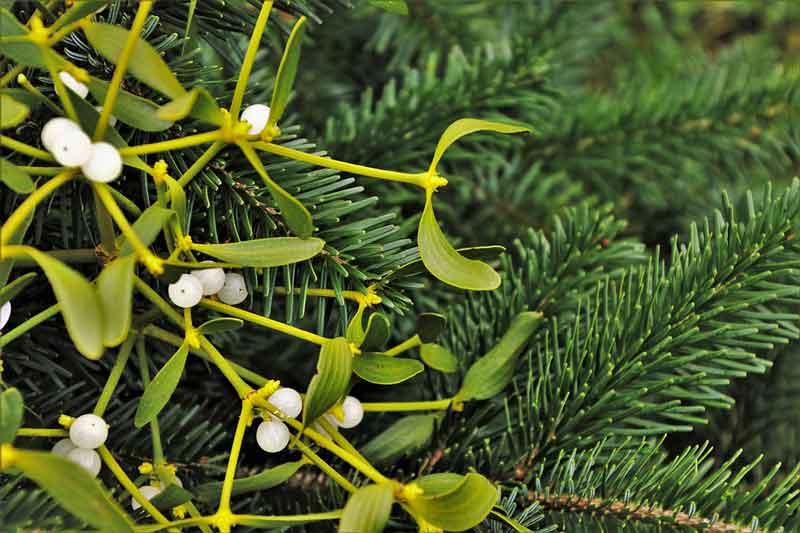 christmas-tree-3892053_960_720