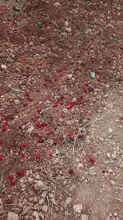 danni-ciliegie-Bari